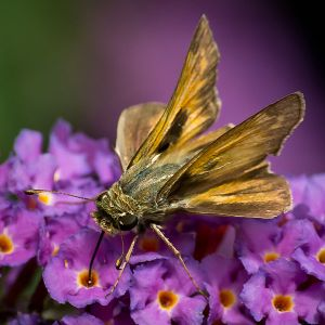 Sachem butterfly. Photo by Ken Thomas, CC0