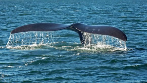 Southern right whale tale. Photo by Dr. Haus. CC-BY-SA