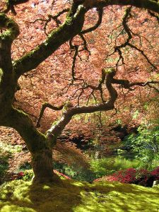 """""""That"""" Japanese Maple at the Portland Japanese Garden. Photo by Jeremy Reding, CC-BY-SA"""