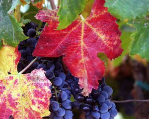 Grapes and leaves in the fall