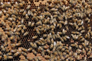Worker policing — the subject of Kevin's article — is common in honey bees.