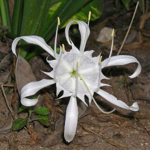 Pancratium Zeylanicum flower, indigenous to India and islands in the Indian Ocean.