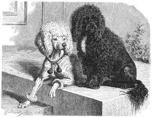 """""""Pudel-drawing"""" by Gustav Mützel (Brehms Tierleben), public domain"""