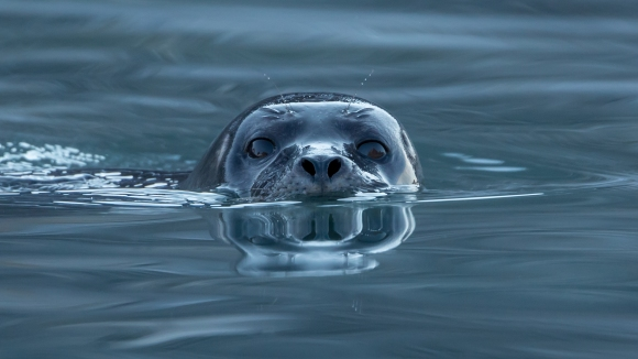 A curious seal comes out to see the photographer's boat. Photo by Andreas Weith, CC BY-SA 4.0.